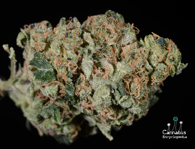 sour-diesel-cmw-ry-prichard